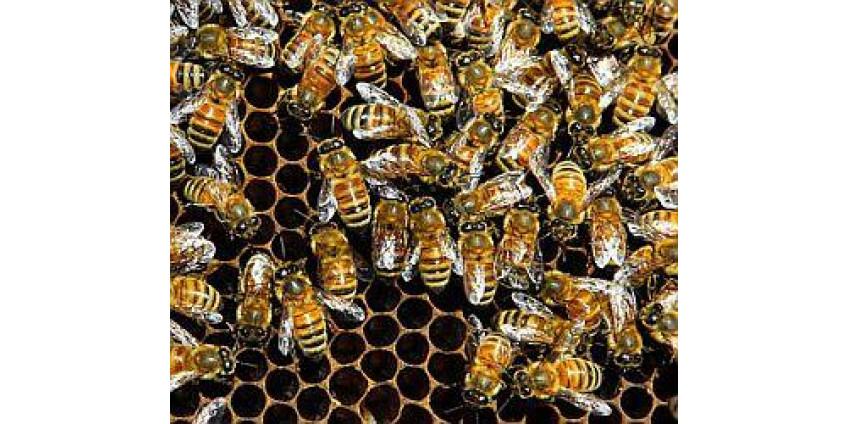 Власти предупреждают о пчелах-убийцах