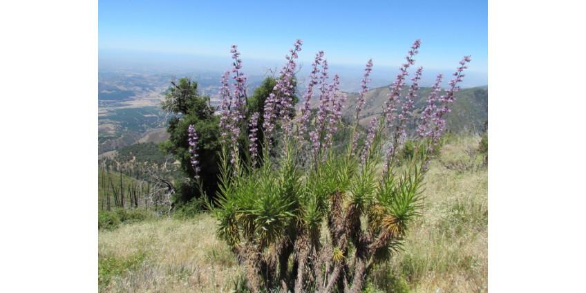 Растение из Сан-Диего может стать спасением для людей с болезнью Альцгеймера