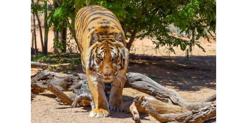 В Аризоне тигр напал на своего спасителя