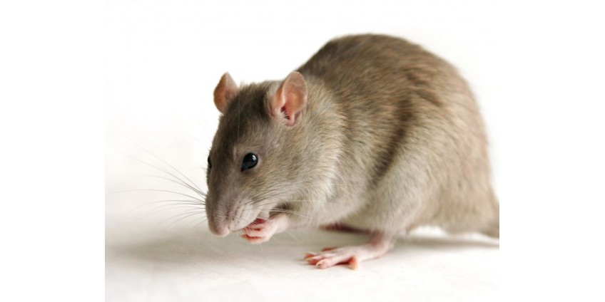 Тысячи крыс спасены от маньяка