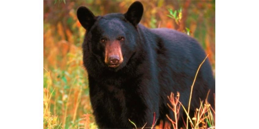 В Неваде разрешили охотиться на черных медведей