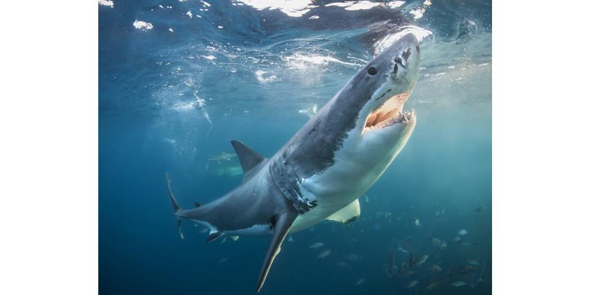 Осторожно, акулы в Сан-Диего!