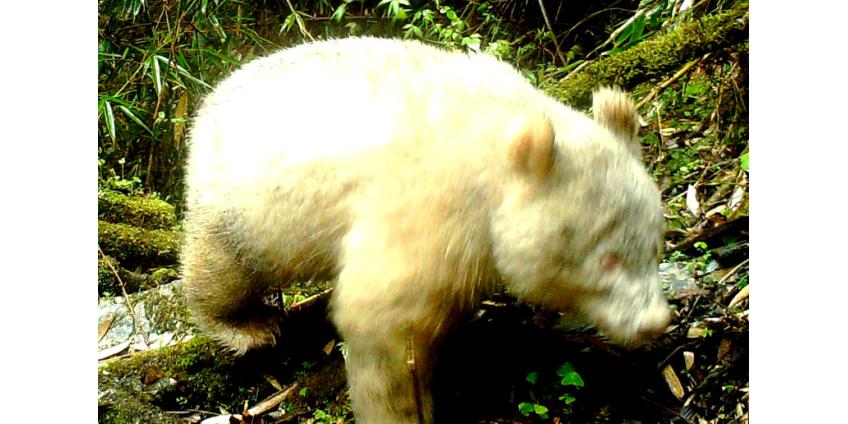 В Китае были сняты редкие кадры с пандами