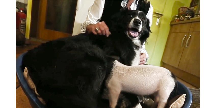В Германии колли стала кормилицей маленькой свинки, которой грозила смерть из-за жадных сестер и братьев