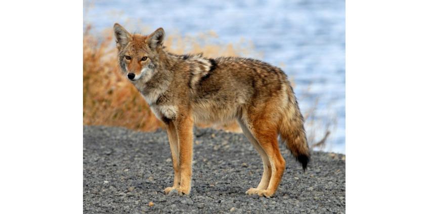 Приют для животных предупреждает жителей Сан-Диего о нападении койотов на домашних питомцев