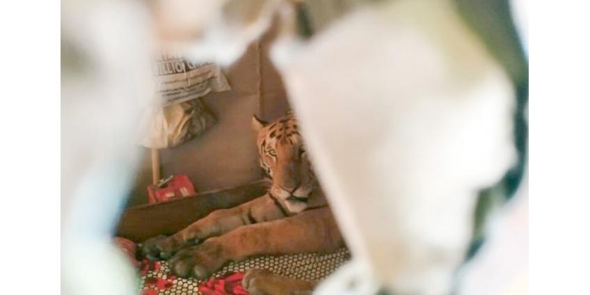 В Индии обессиленная стихией тигрица пришла в дом и проспала на кровати целый день