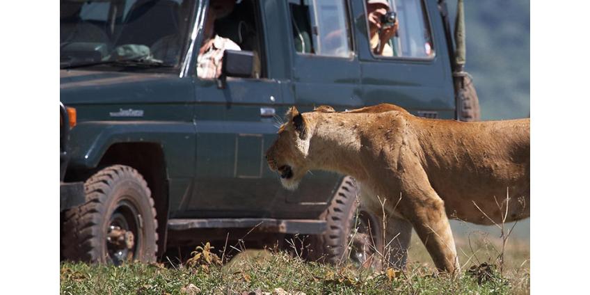 Львы в Национальном парке в ЮАР освоили новый вид охоты - они ловят своих жертв, прячась за машинами туристов