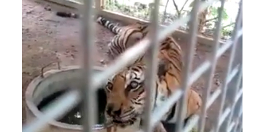 """86 тигров, вывезенных три года назад из скандального """"тигриного монастыря"""" в Таиланде, не выжили"""