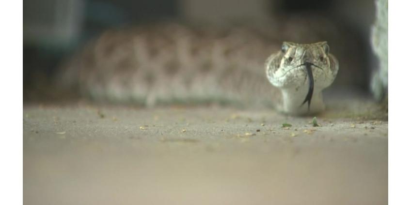 В Финикс вернулись гремучие змеи