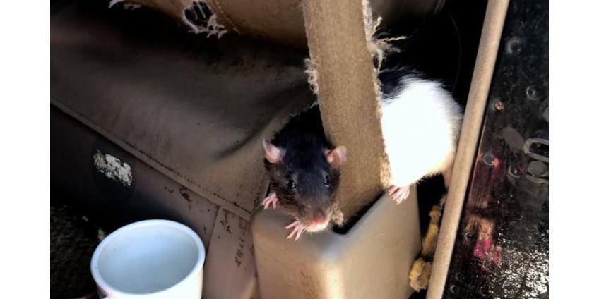 В Сан-Диего отдают на «усыновление» крыс