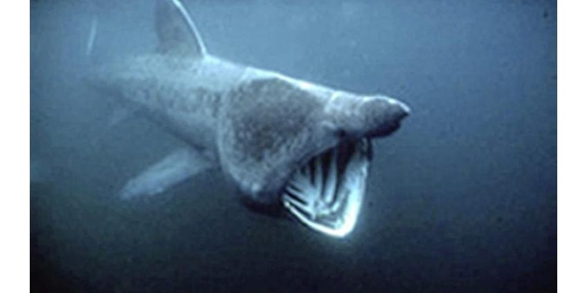 Появилось фото гигантской и жутко выглядящей акулы, у которой в пасти виднеется «грудная клетка»