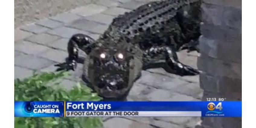 Аллигатор постучался в дверь семьи прямо посреди празднования Дня благодарения