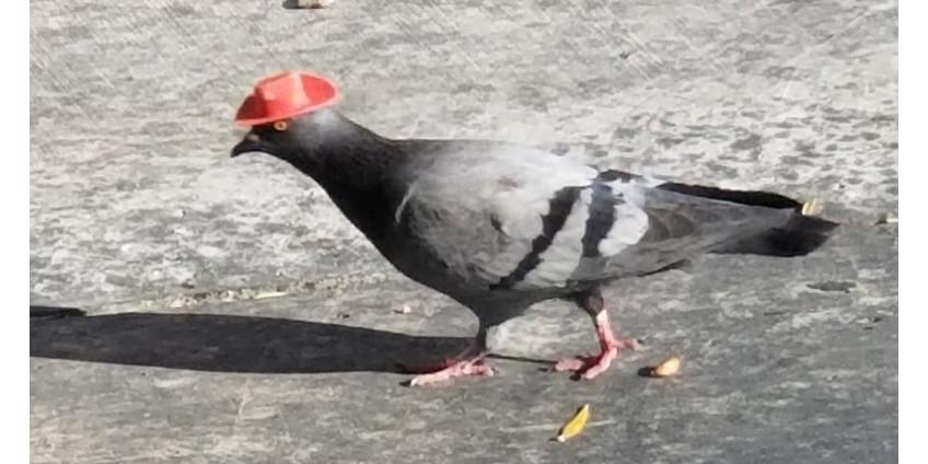 По Лас-Вегасу прогуливались голуби-ковбои