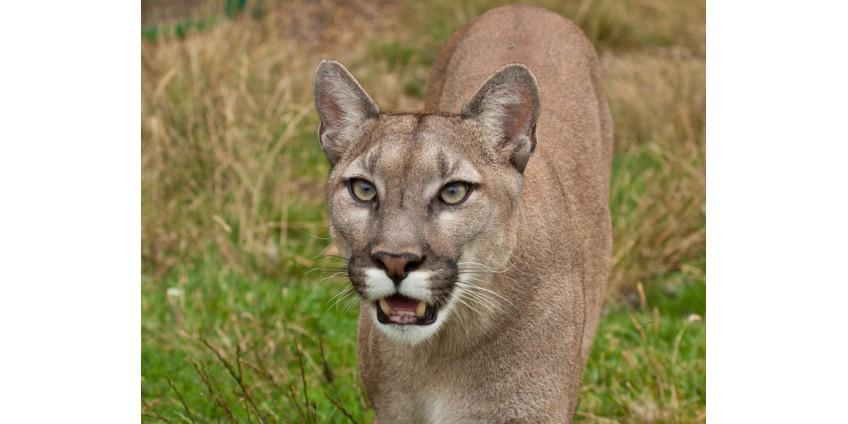 В калифорнийском Сими-Вэлли был пойман горный лев