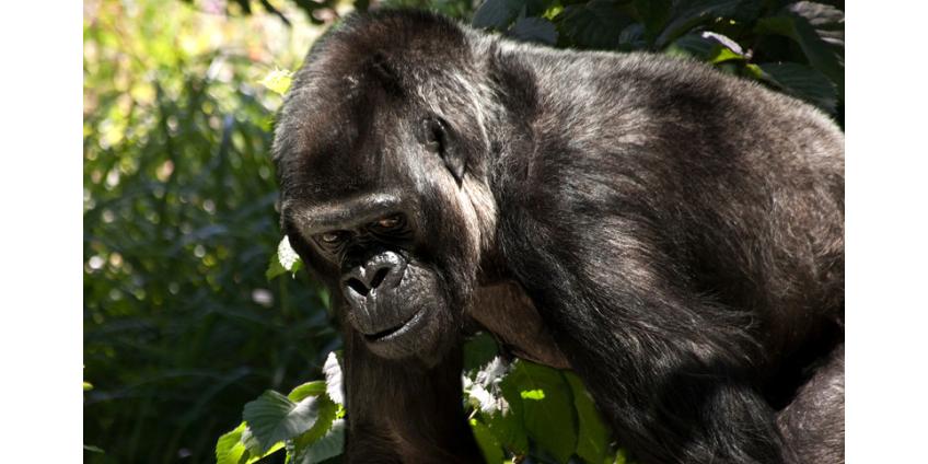 """В Лонг-Айленде разразился скандал из-за идиомы """"Обезьянка видит - обезьянка делает"""""""