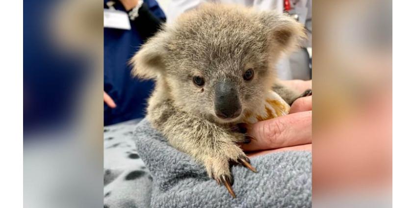Зоопарк Сан-Диего собирал порядка $ 500 тыс. для помощи Австралии