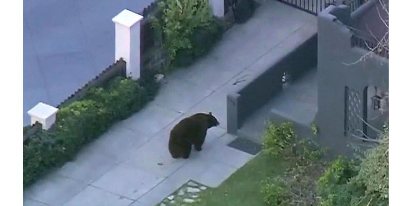 Медведь два дня разгуливал по улицам города в Калифорнии