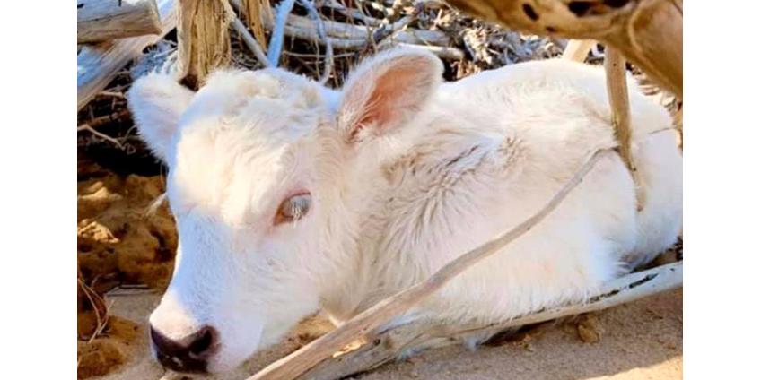 В США унесенная ураганом с одного на другой остров корова родила теленка с глазами разного цвета