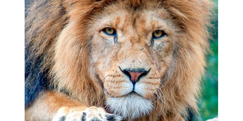 """В Сети гуляет фейк о 500 львах, """"выпущенных на улицы городов РФ"""" якобы для соблюдения гражданами карантина"""