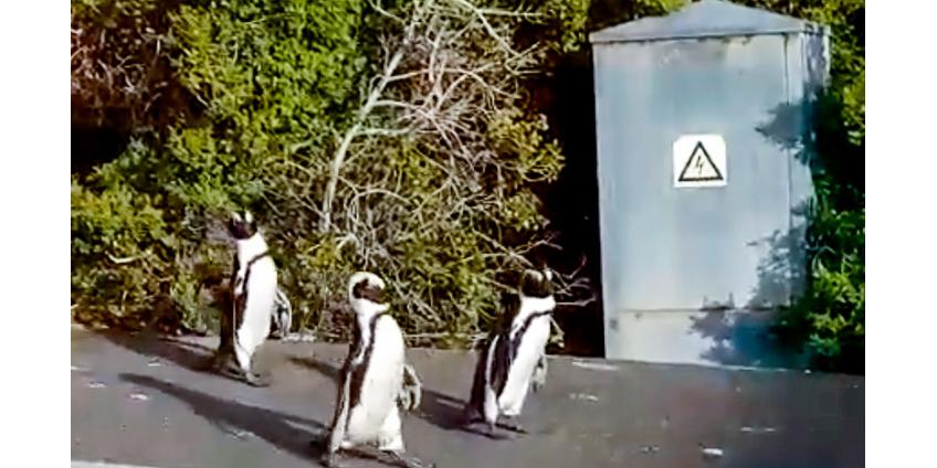 В ЮАР по улицам бродят пингвины, в центре австралийского города скачут кенгуру, в Италии купаются в море олени