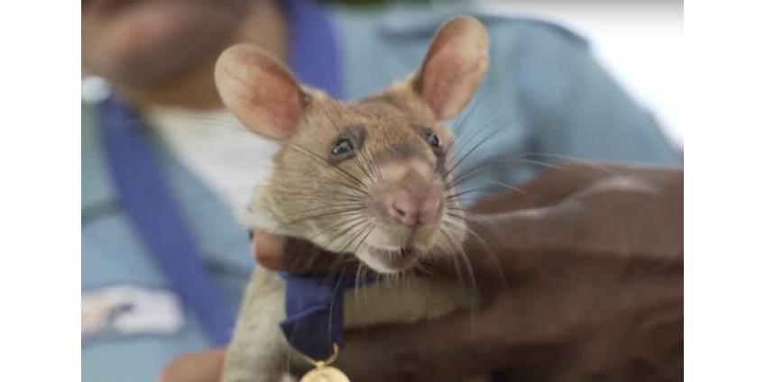 В Великобритании высшую награду страны получила сумчатая крыса Магава за поиск неразорвавшихся мин