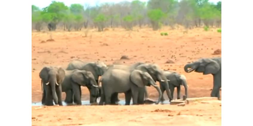В Зимбабве назвали причиной массовой гибели слонов бактериальное заболевание