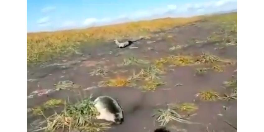Побережье Камчатки и Курильских островов завалено трупами морской живности