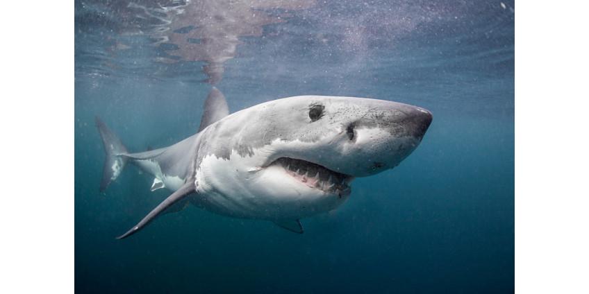 У побережья Сан-Диего становится больше акул