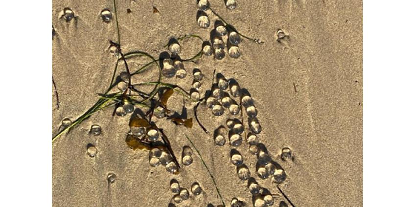 Пляжи в Лос-Анджелесе покрыли странные желеобразные шарики
