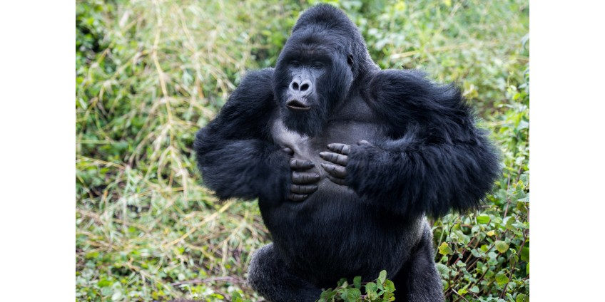 В зоопарке Сан-Диего у горилл выявили коронавирус