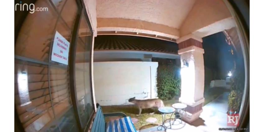 Горный лев, замеченный на западе Лас-Вегаса, вызвал ажиотаж в социальных сетях