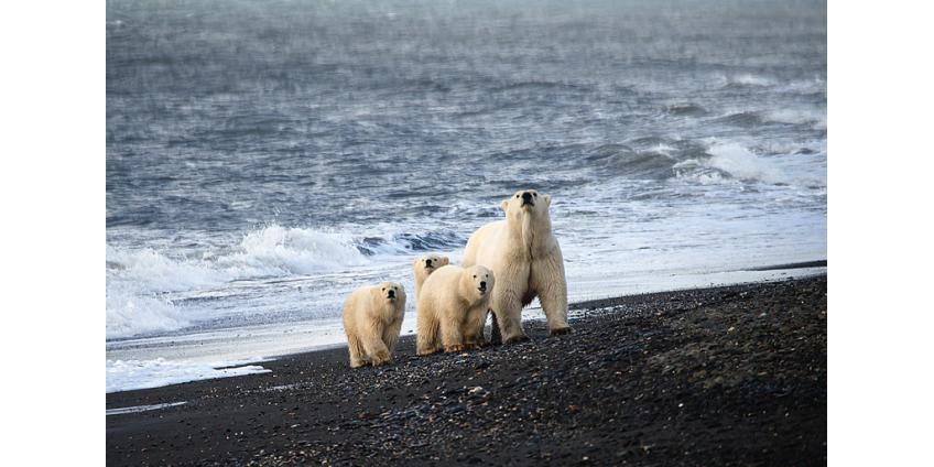 Таяние льдов заставило белых медведей сменить рацион