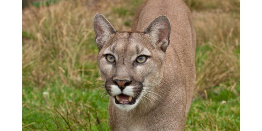В округе Сан-Диего разыскивается горный лев-убийца