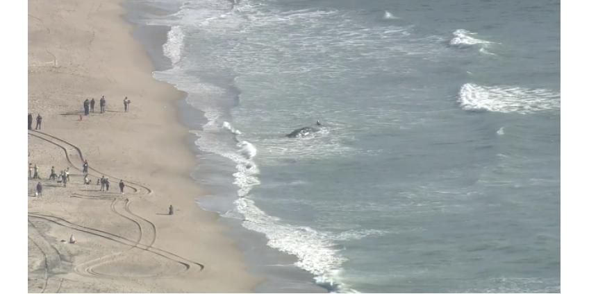 На пляж Dockweiler в Лос-Анджелесе выбросился кит