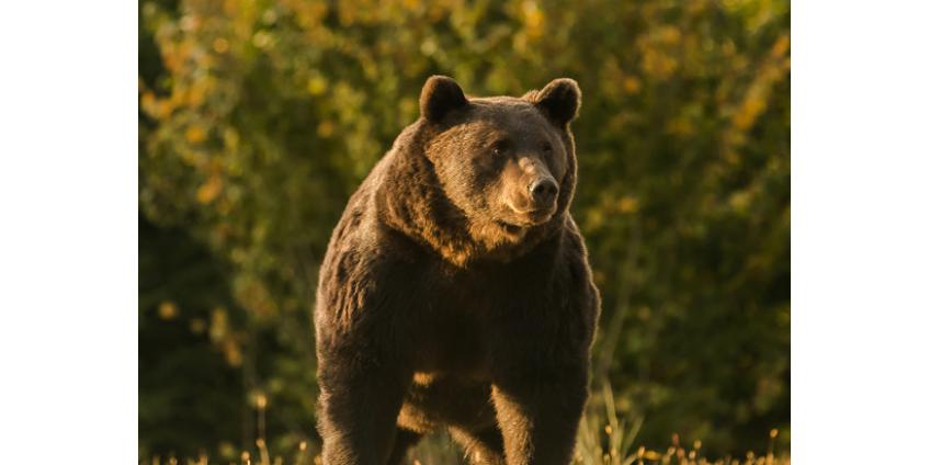 Экологи обвинили принца Лихтенштейна в намеренном убийстве самого крупного медведя в Европе