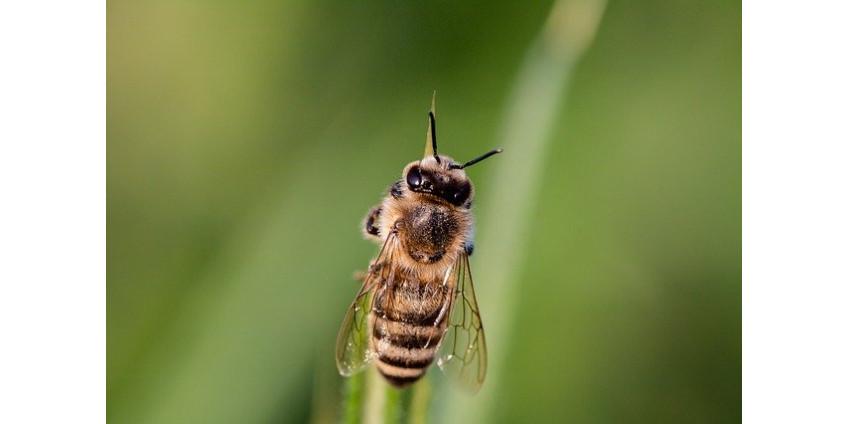 В результате нападения пчел в Бакайе два человека отправились в больницу