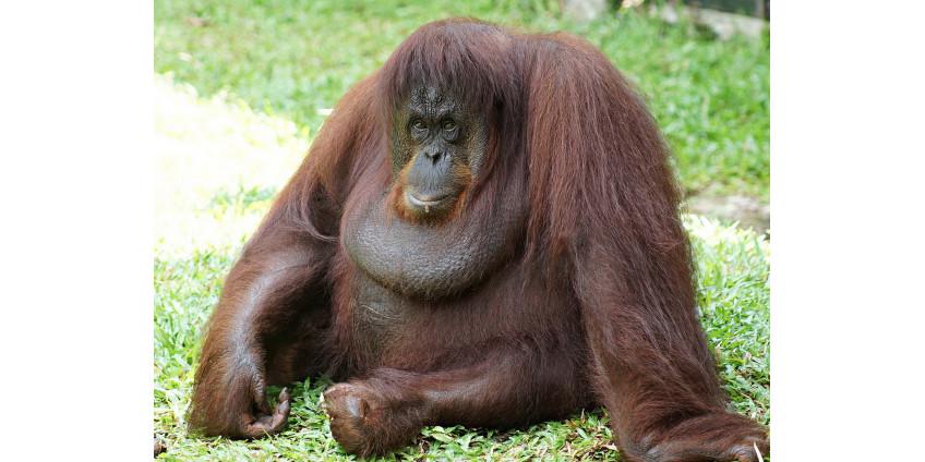 У орангутанов обнаружили способность пользоваться инструментами