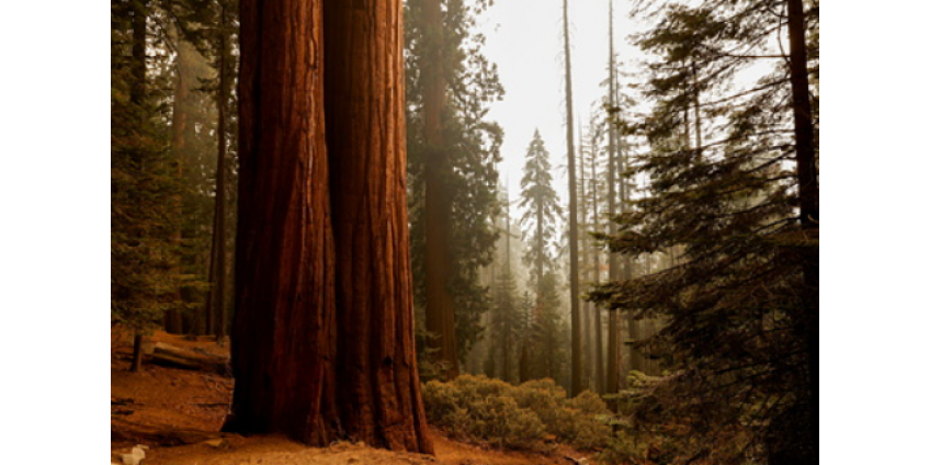 Гигантские секвойи оказались под угрозой из-за лесных пожаров